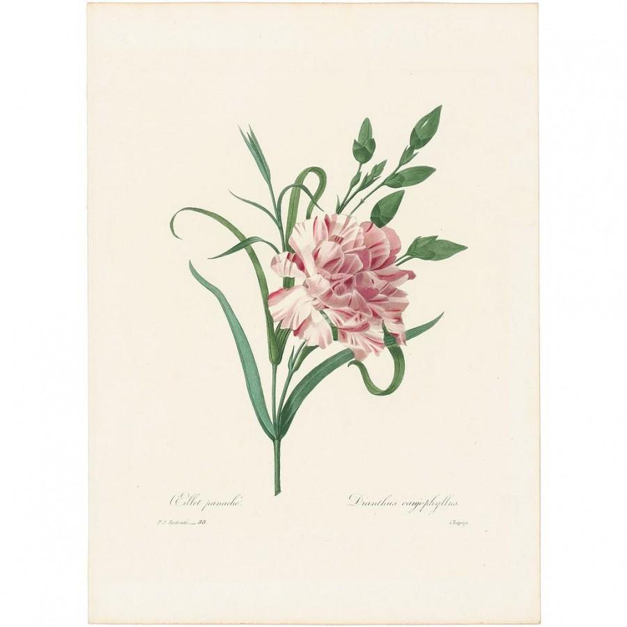 [REDC-1835-088] Redouté Choix 1835, Pl. 88, Clove- Pink Carnation (Oeillet panache-Dianthus..