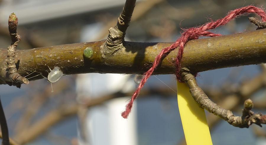 Markera var på grenen du sått dina mistelfröer. Foto: Kerstin Engstrand