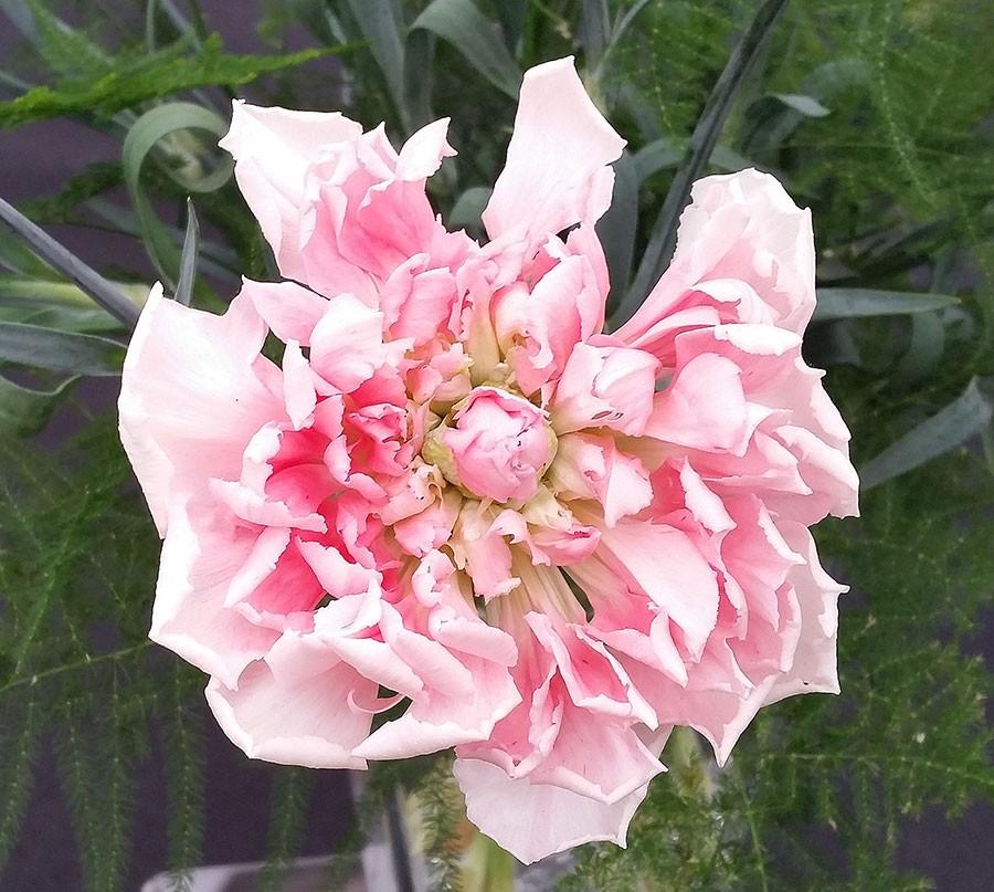 Nejlikorna Malmaison, de vackraste som finns? Foto: Kerstin Engstrand