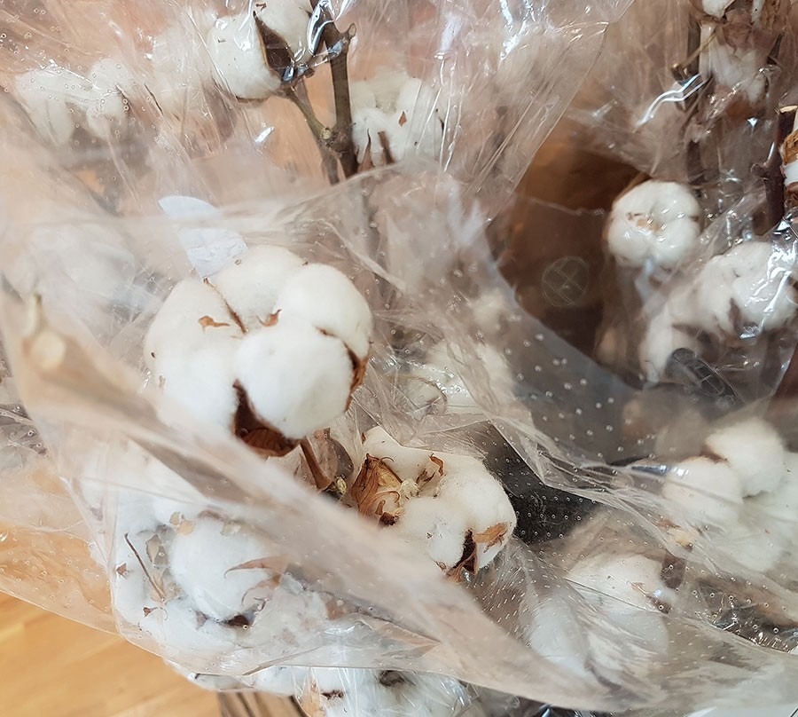 Bomullskvistar finns att köpa som snittblomma. Foto: Kerstin Engstrand