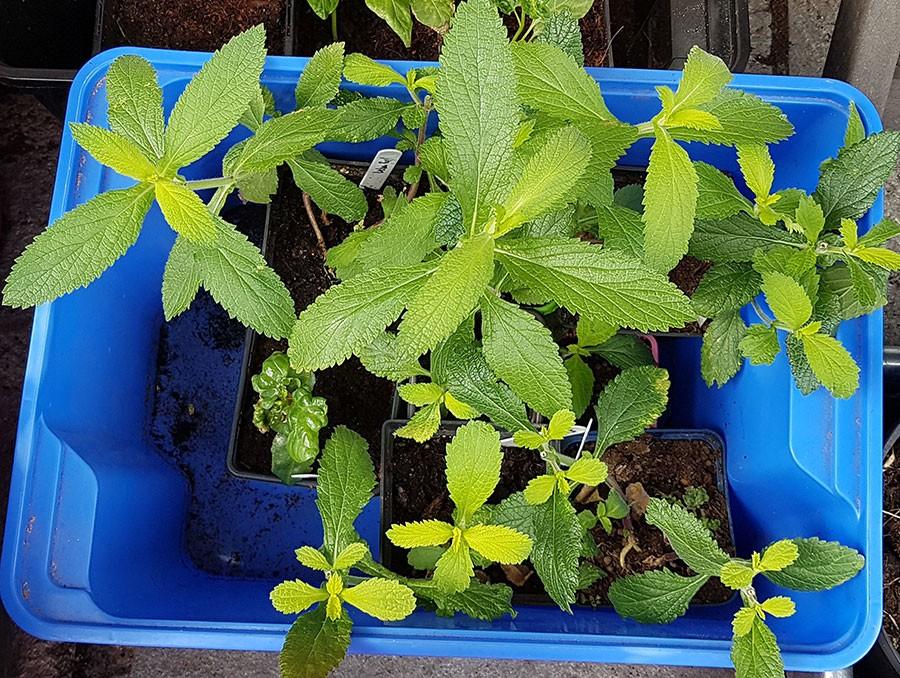 Plantorna får stå svalt utomhus under dagen, då täckta med ett dubbelt lager av fiberduk. Foto: Kerstin Engstrand