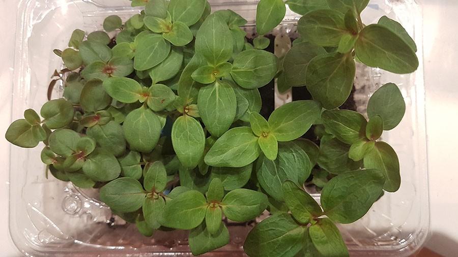 35 dagar efter sådd, 5 veckor är fröplantorna betydligt kraftigare och det är tid att skola om dem, dvs plantera om dem.  EfterFoto: Kerstin Engstrand