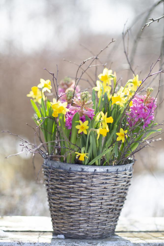 Fin också tillsammans med hyacinter! Foto: Annika Christensen för Blomsterfrämjandet.
