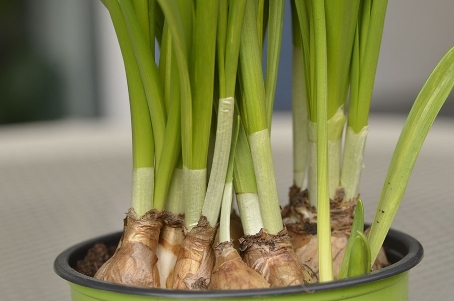 vårens inköp går utmärkt att plantera ut i rabatten. Lökarna är lätta att dela. Foto: Kerstin Engstrand
