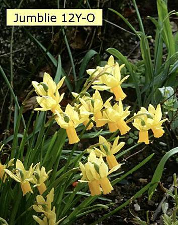 'Jumbilie',  12Y-O är en beteckning som odlare använder sig av när de delar in påskliljorna i olika grupper.  Bild från Ron Scamp - Cornwall's Daffodil King