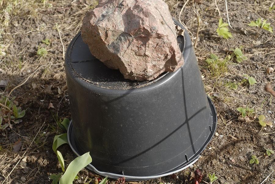 """En planta, en hink, en sten och drivningen är på gång! Mästerkockarnas favorit, glasrabarber kan du lätt göra själv. Allt du behöver är en mörk hink, kruka eller tunna samt en stor sten som håller hinken på plats och förstås en rabarberplanta. Glasrabarber är helt enkelt rabarber man drivit upp i mörker. En rabarber som i sin desperata jakt efter ljus sträcker sig uppåt och blir till en verklig delikatess. Växter som får växa upp i mörker blir långa och smala. Just rabarber får en annorlunda smak när de drivs, de blir mindre sura och mycket mjälla. En exklusivitet som är svårt att få tag på om man inte odlar själv.  Självklart tar drivningen bort lite av plantans kraft, den behöver ljus för att må bra. Därför ska du aldrig skatta alla stjälkar på en driven planta, låt några vara kvar. Efter skörden, ge rikligt med vatten och gödsla. Allra helst ska också plantan som driva även vara väl gödslad året innan. Om inte, så vattna upp den rejält med gödselvatten, det vill säga flytande näring tillsatt i vattnet, en vecka innan du sätter över hinken.    Från det att du sätter över hinken tills stjälkarna nästan spränger sönder den tar det cirka 1- 2 veckor, allt beroende på dygnstemperaturen förstås. I Storbritannien är denna """"forced rhuarb"""" en ädel konst, särskilt i området runt Wakehurst. Ja där har man till och med rabarberfestival när de drivna rabarberna är som bäst. Foto: Kerstin Engstrand"""