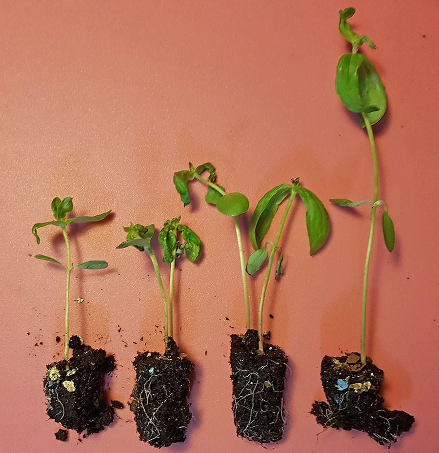 Samma sort av zinnia, alla sådda samtidigt i en pluggbox men plantorna är ganska olika i storlek.  Foto: Kerstin Engstrand