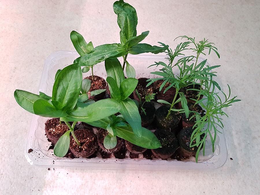 Zinniaplantorna syns längst till vänster. Så här fina är de efter tre veckor. Plantorna till höger är rosenskära, cosmos. Foto: Kerstin Engstrand