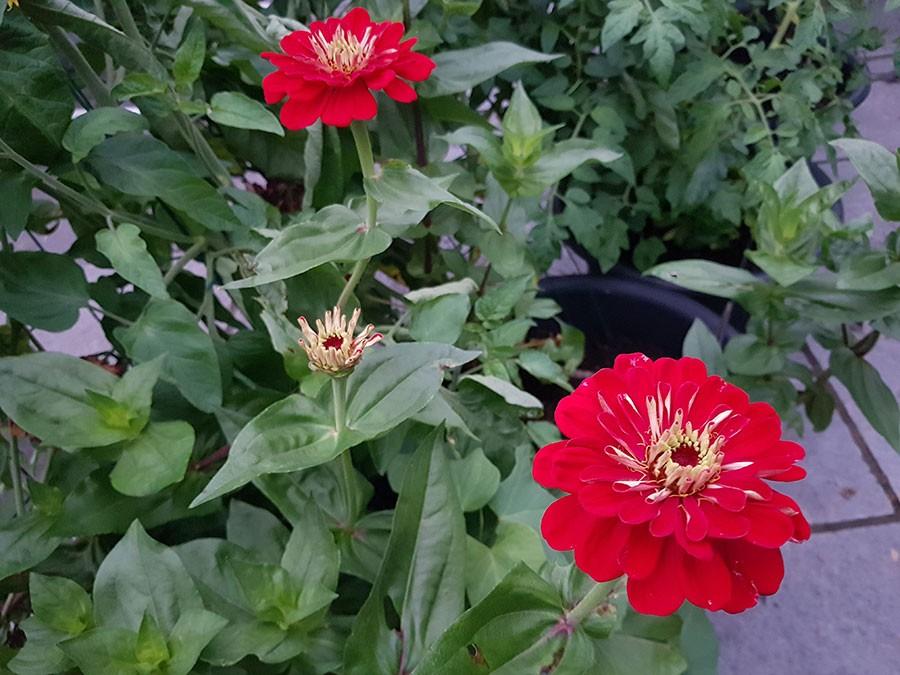 Zinniaplantorna blir automatiskt förgrenade och fina i och med att man plockar blommorna. Foto: Kerstin Engstrand