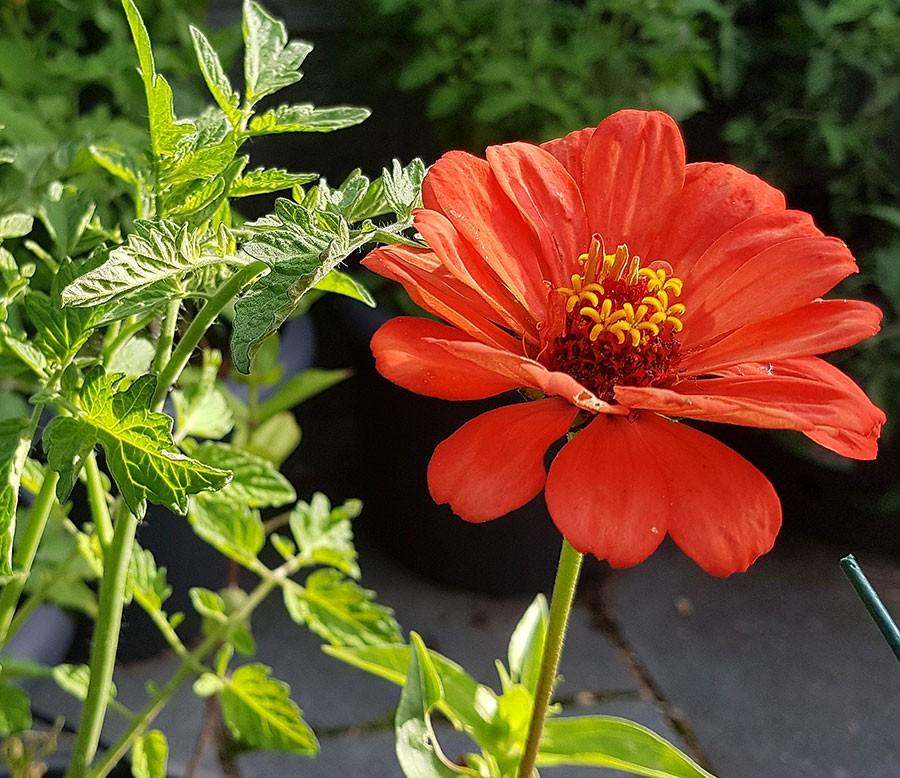 Zinnia är trevlig att samplantera med tomater, en zinnia per tomatplanta blir en spännande upplevelse. Foto: Kerstin Engstrand