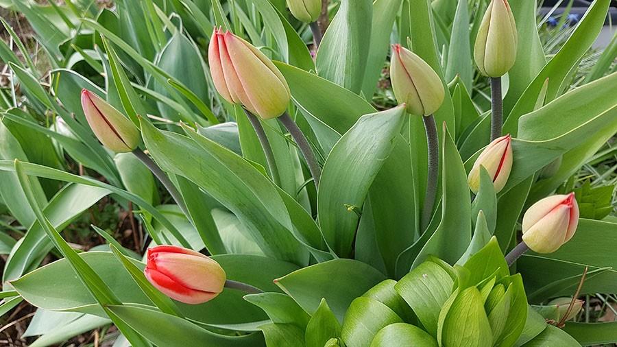 När knopparna bekänner färg är det en bra tid att ta in några tulpaner för snitt. Foto: Kerstin Engstrand