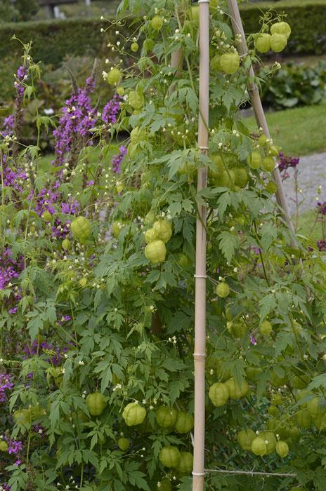 I Bergianska trädgården stöttade de en ballongranka med stadiga bambukäppar. Foto: Kerstin Engstrand